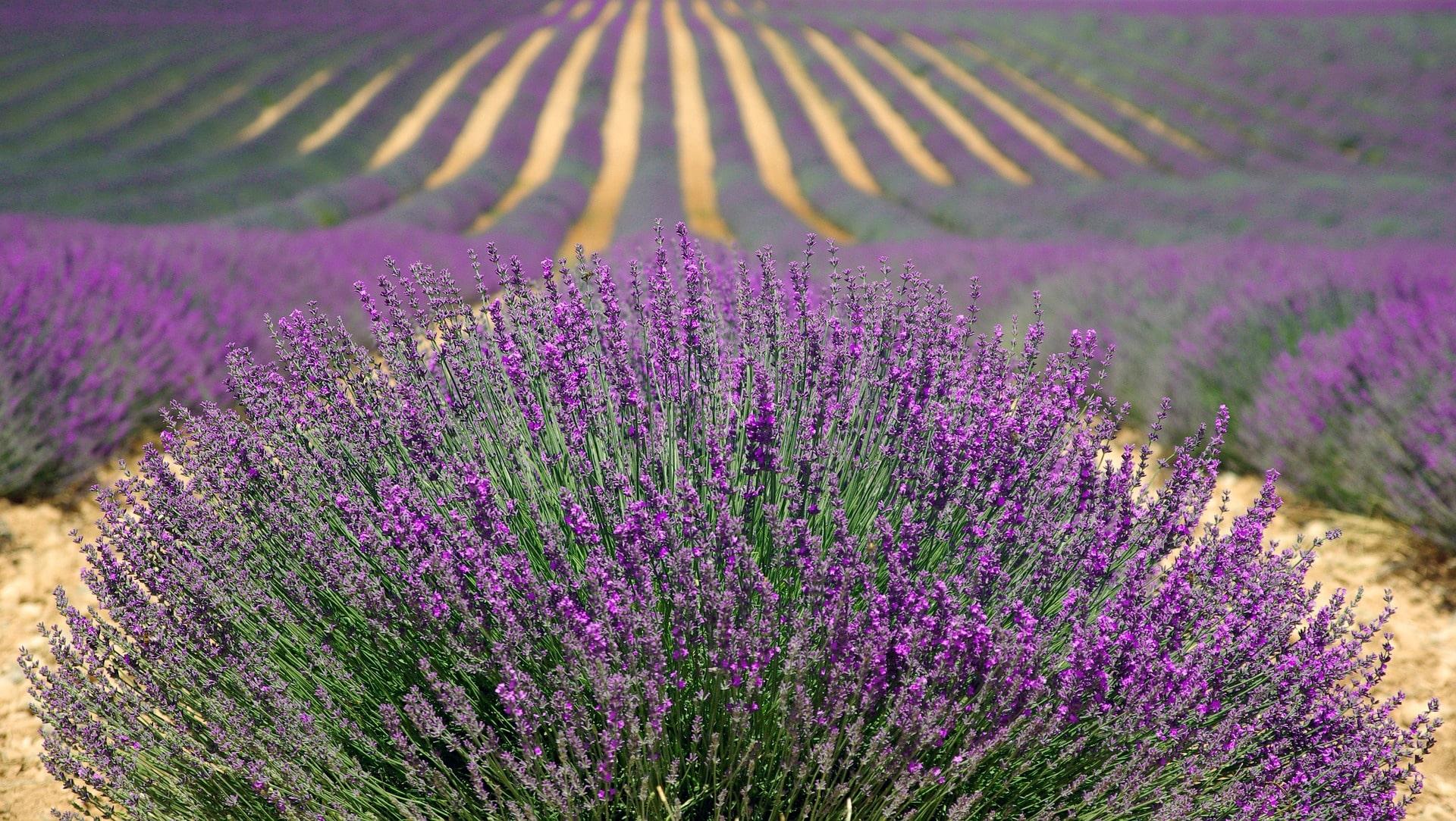 Цветочное поле во Франции